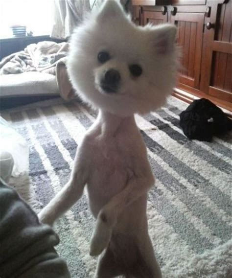 Dog Haircuts Gone Wrong | haircut gone wrong fun pictures pinterest