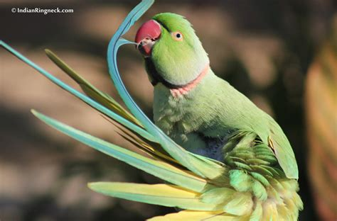 indianringneck com learn about your feathered family member