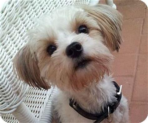 shih tzu maltese mix rescue baci adopted puppy miami fl maltese shih tzu mix