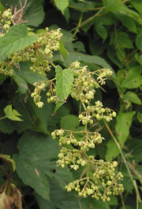 hopfen heilpflanzen heilkraeuter