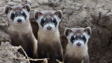 Recovery: Hope for Black-Footed Ferrets, One of Our Most ...