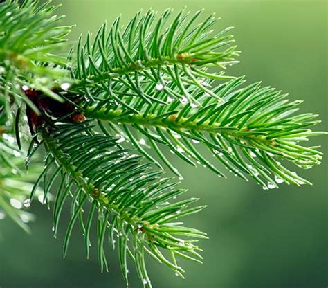 eat your christmas tree edible pine needles ingredient