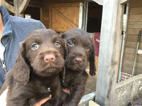 Labradoodle X Labrador Puppies For Sale Petersfield