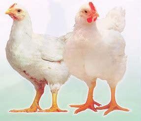 gambar ayam indonesiadalamtulisan terbaru