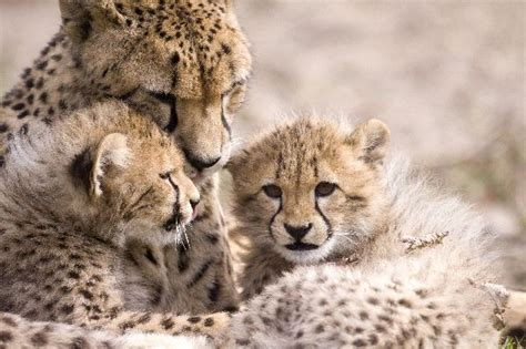 imagenes del jaguar con sus crias feline reproduction animal facts and information