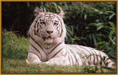 imagenes para fondo de pantalla de tigres uanl imagenes de tigres de bengala para fondo de pantalla