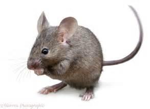 mouse hd desktop wallpapers