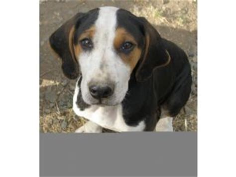 catahoula puppies for sale california catahoula leopard puppies for sale