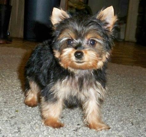 free yorkie puppies in tn pets hendersonville tn free classified ads