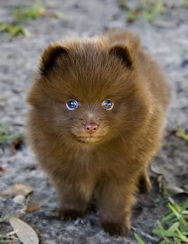 buy a pomeranian puppy the cool puppy articles breeds buying and caring for pomeranian puppies