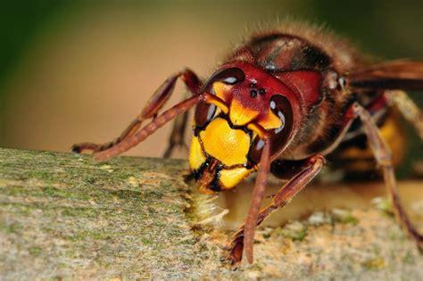 wespen im haus was tun 6753 hornissennest entdeckt hornissen sicher vertreiben