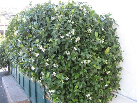 gelsomino in vaso falso gelsomino trachelospermum jasminoides somanum