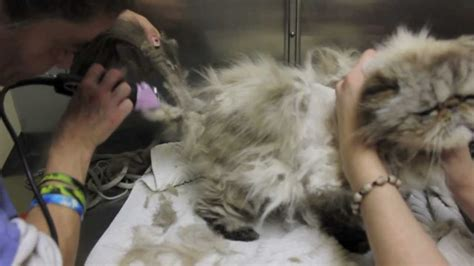 How To Groom A Cat With Matted Fur by Cat Grooming Mats