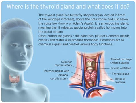 thyroid gland diagram can hypothyroidism cause bloating and gas