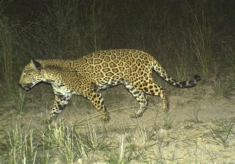 jaguar in arizona new sighting of arizona s only known jaguar the jaguar