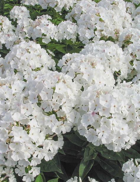 witte thee tuinen perennial phlox garden flowers perennials flowers en