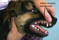 jaundice in dogs icterus or jaundice in dogs