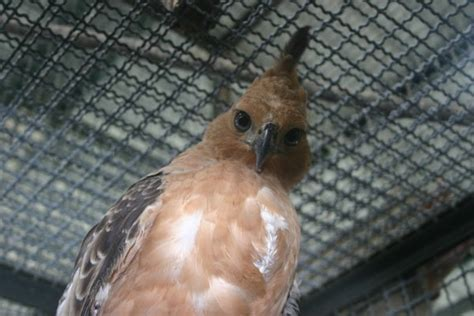 illegal pet trade threatens  indonesian birds  extinction scientific american blog network