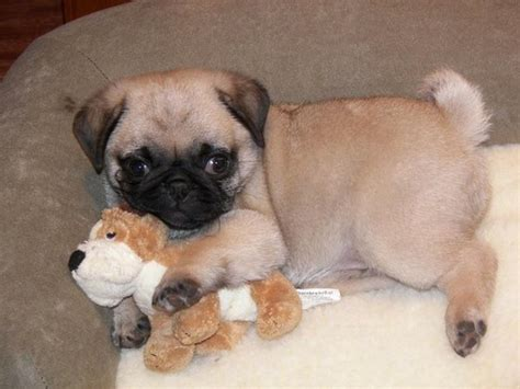 pugs for cheap ellentv pugs pugs and more pugs