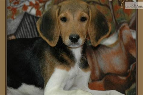 foxhound puppies for sale american foxhound puppies pc wallpaper breeds picture