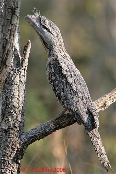 tawny frogmouth bird i m impressed by it s ability to