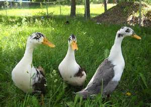 7 things to before keeping ducks in the city hobby