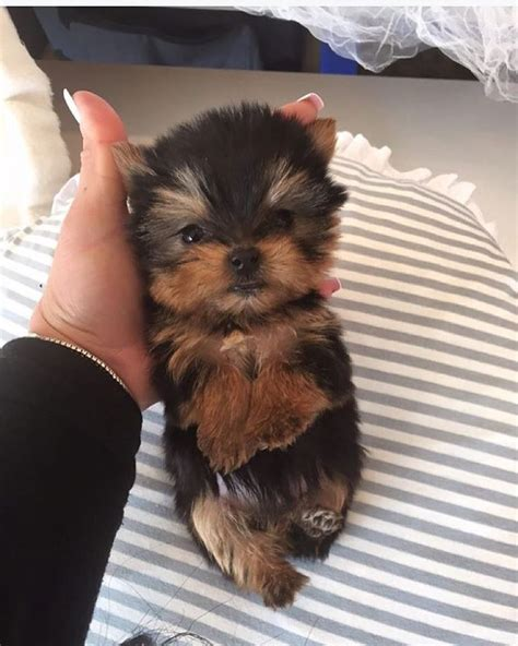 how much are teacup yorkie puppies top 25 best yorkie puppies ideas on