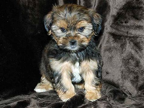 shih tzu or yorkie shih tzu yorkie happiness is pets archive