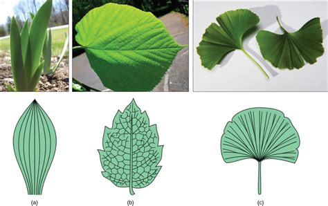 leaf pattern of dicots leaves biology for majors ii