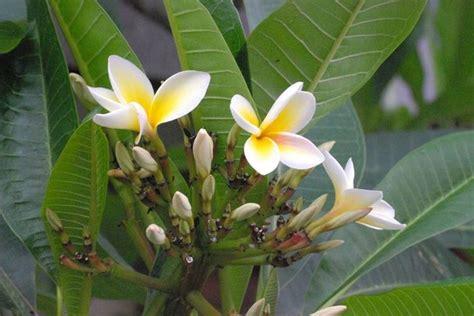 frangipane fiore fiore frangipane piante da giardino caratteristiche