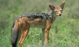 Jackal facts history useful information and amazing pictures