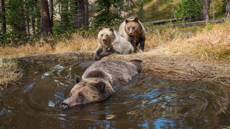 bear in a bathtub video quot bear bathtub quot caught on trailcam outdoorhub
