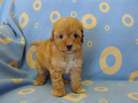puppy financing puppy town available puppies quot click quot on puppies for more photos and info financing