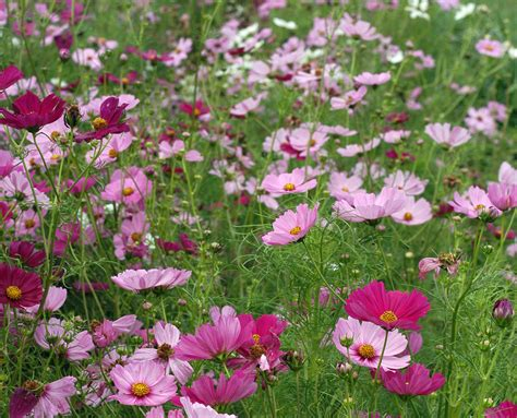 cosmos sensation mix   southern exposure seed