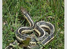 Butler's Garter Snake Facts and Pictures Range List Python