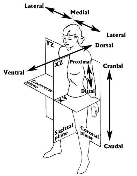 body orientation direction planes and sections human anatomical planes orientations relax and release