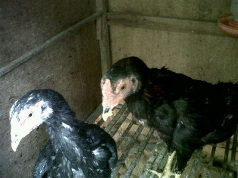 Anakan Ayam Bangkok koleksi ayam bangkokku lg masdalyadi s