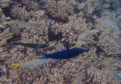 image gomphosus caeruleus blue green bird wrasse hochschule bremen nora kolter tropische fische aus