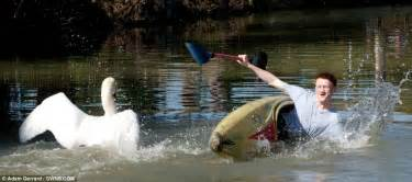 swan boats gif meet tyson the terrifying swan that attacks boaters if