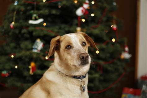 dog in front of christmas tree by jade ember on deviantart