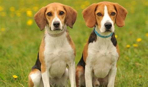 beagle breed 7 breeds that prefer the company of humans barkpost