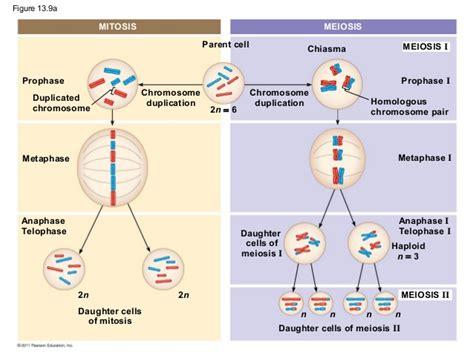 2n 6 meiosis diagram ch 13 meiosis and sexual cycles