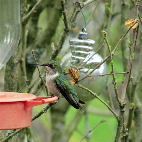 ruby throated hummingbirds returning after long absence
