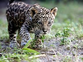 Pet Jaguar Yes I Do A Pet Jaguar Mayo S Musings