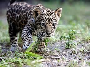 Domesticated Jaguar Yes I Do A Pet Jaguar Mayo S Musings