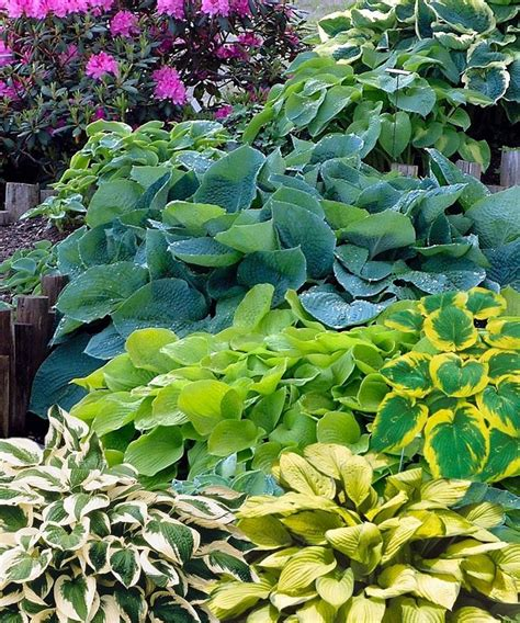 436 best hosta gardening images on pinterest gardening