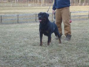 rottweiler puppies for sale in buffalo ny rottweiler puppies for sale in buffalo ny