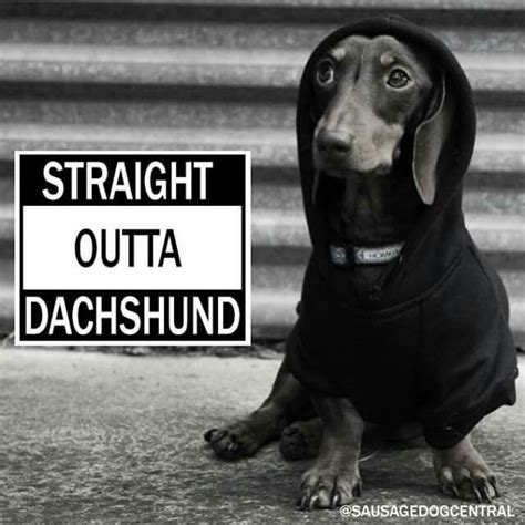 Dachshund Birthday Meme - best 25 dachshund meme ideas on pinterest funny puppies