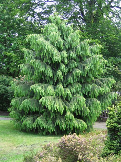 garden tree types morinda spruce tree this tree grows to 33 ft high and 10