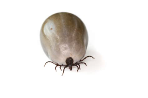 get tick ticks how to kill get rid of tick in house pestmall